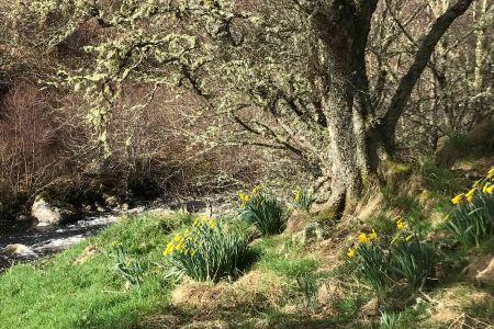 Strone-Daffodils.jpg